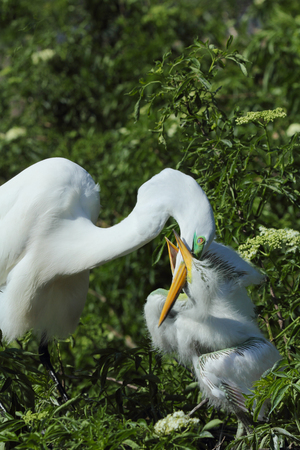 hatchling: Baby egret in Florida demanding attention by grabbing the beak of its mother in its bill coaxing her to regurgitate a meal. Ardea alba.
