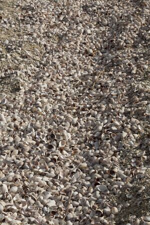 bluff: Shells of thousands of snails on the beach at Bluff Point State Park on Long Island Sound of the Atlantic Ocean in Connecticut.