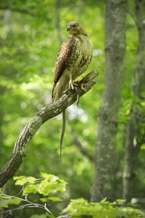 bird eating raptors: Red tail hawk feeding on a garter snake in a tree at Case Mountain reserve in Manchester Connecticut. Scientific name is Buteo jamaicensis.