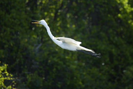 ardea: Great white egret flying past dark green foliage in a swamp in central Florida. Scientific name is Ardea alba.