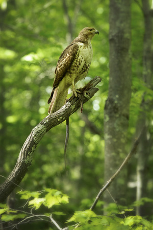 bird eating raptors: Red tail hawk in profile with garter snake in a tree at Case Mountain reserve in Manchester Connecticut. Scientific name is Buteo jamaicensis.