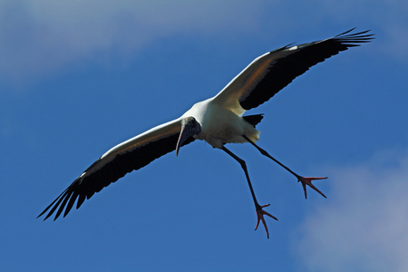 splayed: Wood stork coming in for a landing with feet and toes splayed out against a blue sky in Florida. Scientific name is Mycteria americana Stock Photo