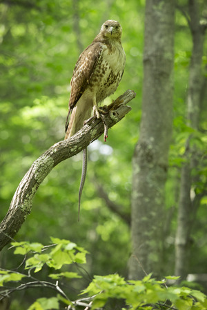 bird eating raptors: Red tail hawk staring into the camera feeding on a garter snake in a tree at Case Mountain reserve in Manchester Connecticut. Scientific name is Buteo jamaicensis. Stock Photo