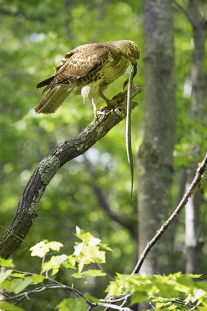 symbiosis: Red tail hawk with garter snake in its bill in a tree at Case Mountain reserve in Manchester Connecticut. Scientific name is Buteo jamaicensis. Stock Photo