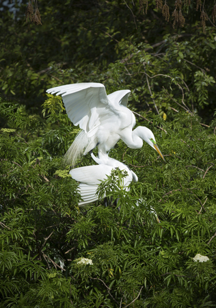 and egrets: Two great white egrets in mating behavior in springtime wetlands of a central Florida rookery. Scientific name is Ardea alba.