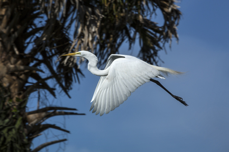 outspread: Great white egret flying with wings outspread in a deep blue sky near a palm tree in Florida. Scientific name is Ardea alba.