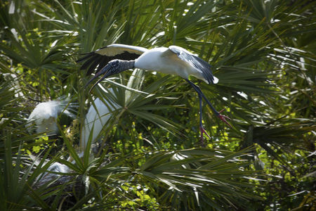 outspread: Wood stork flying in Florida with wings outspread against green foliage of a rookery. Scientific name is Mycteria americana.