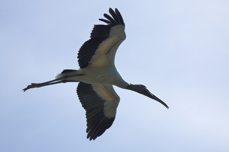 outspread: Wood stork flying in Florida with wings outspread against a light blue sky. Scientific name is Mycteria americana. Stock Photo
