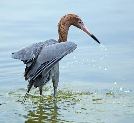 water dripping: Reddish egret fishing in the Gulf of Mexico at Ft. Desoto State Park in Florida with water dripping from its beak.