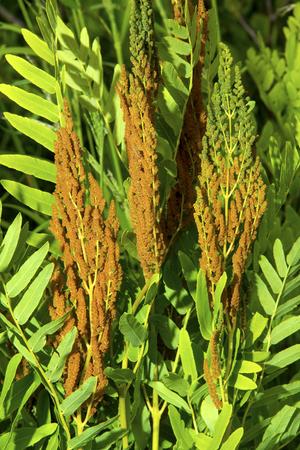 fertile: Fertile fronds of royal fern Osmunda regalis in wetlands of White Memorial Conservation Center, Litchfield, Connecticut. Stock Photo
