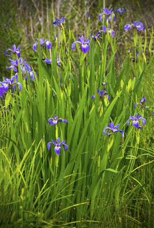 Group of larger blue flag flowers, purple iris Iris versicolor in wetlands of White Memorial Conservation Center, Litchfield, Connecticut.