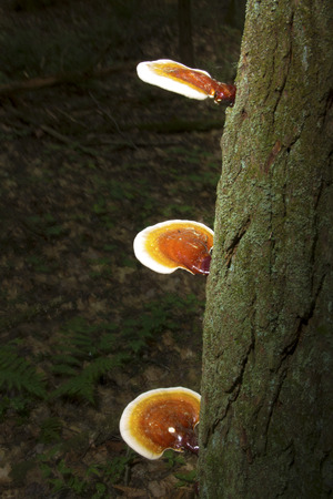 basidiomycete: Hemlock reishi mushrooms Ganoderma tsugae on bark of hemlock tree. Also known as artists conk, varnish shelf fungus.