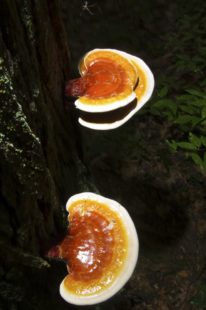 hemlock: Hemlock reishi mushrooms Ganoderma tsugae on bark of hemlock tree. Also known as artists conk, varnish shelf fungus.