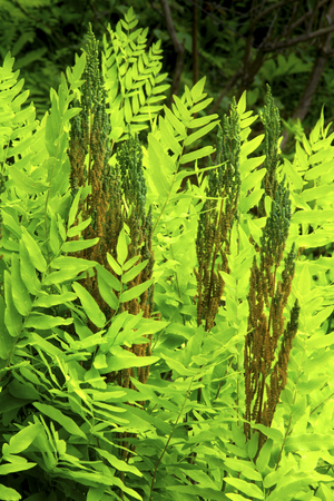 fronds: Fertile fronds of royal fern Osmunda regalis in wetlands of White Memorial Conservation Center, Litchfield, Connecticut. Stock Photo