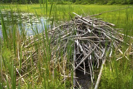 lodge: Beaver lodge in a wetlands of the White Memorial Conservation Center, Litchfield, Connecticut.