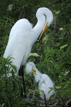 animal behavior: Great white egret with chick, preening in nest at a rookery in Florida.