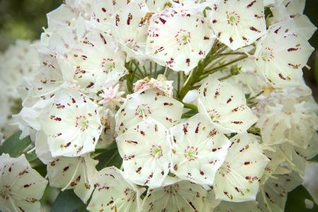 Flores de la montaña laurel Kalmia latifolia de cerca, en primavera en la reserva de la montaña Caso en Manchester, Connecticut. Foto de archivo - 43866991