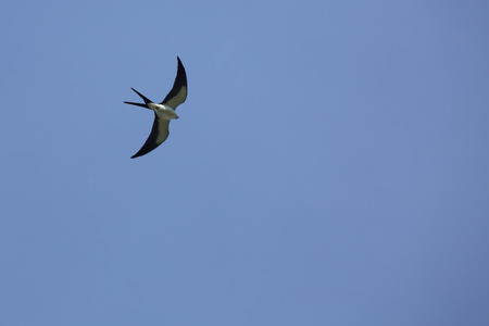 Swallow tail kite, Elanoides forficatus, in a blue sky over wetlands of central Florida.