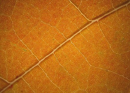 magnified: Abstract, background micrograph of a light brown sassafras leaf in autumn, taken at 40x. Scientific name is Sassafras albidum .