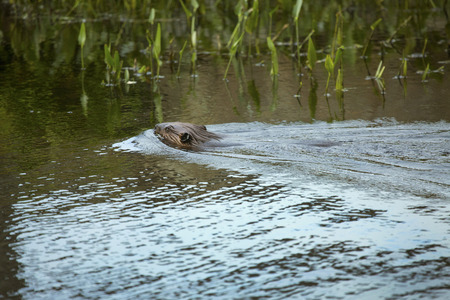 castor: Beaver, Castor canadensis, swimming in pond at Southford Falls State Park, Oxford, Connecticut. Stock Photo