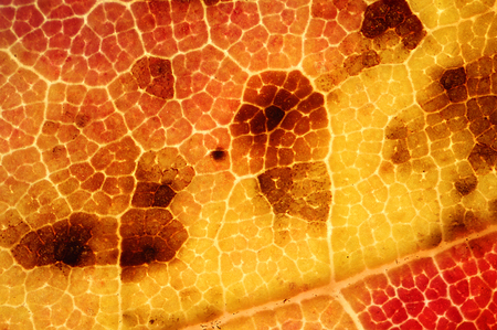 micrograph: Abstract, background micrograph of a red maple leaf in autumn, with red, orange and yellow colors dominating, taken at 40x. Scientific name is Acer rubrum.