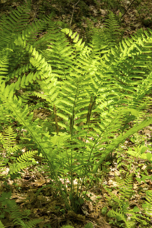 fertile frond: Interrupted fern, Osmunda claytoniana, with fertile pinnae in the middle of the frond. From Shenipsit State Forest, Somers, Connecticut. Vertical. Stock Photo