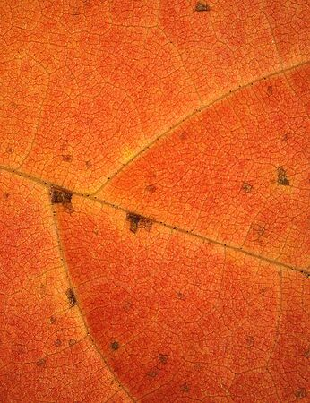 micrograph: Abstract, background micrograph of a red sassafras leaf in autumn, with red and orange colors dominating, taken at 40x. Scientific name is Sassafras albidum .