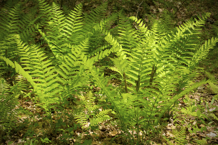 fertile frond: Interrupted fern, Osmunda claytoniana, with fertile pinnae in the middle of the frond. From Shenipsit State Forest, Somers, Connecticut. Stock Photo
