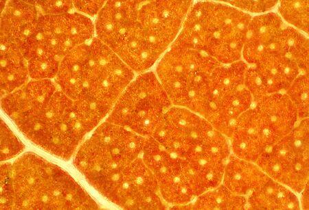 micrograph: Abstract, background micrograph of orange sassafras leaf in autumn, taken at 40x. Scientific name is Sassafras albidum .