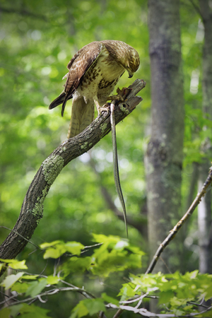 talons: Red tail hawk in tree, with garter snake in its talons, at Case Mountain reserve in Manchester, Connecticut. Scientific name is Buteo jamaicensis.