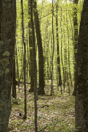 deciduous woodland: Temperate, deciduous forest in springtime, Valley Falls Park, Vernon, Connecticut. Vertical image, brown leaves on ground. Stock Photo