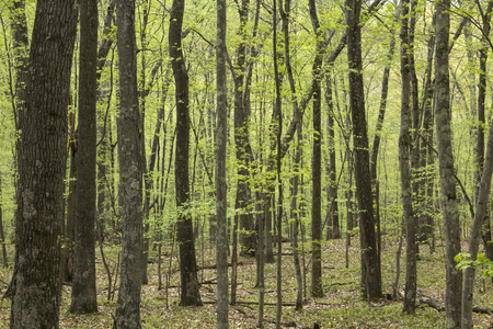 deciduous forest: Temperate, deciduous forest in springtime, Valley Falls Park, Vernon, Connecticut. Horizontal image, brown leaves on ground.