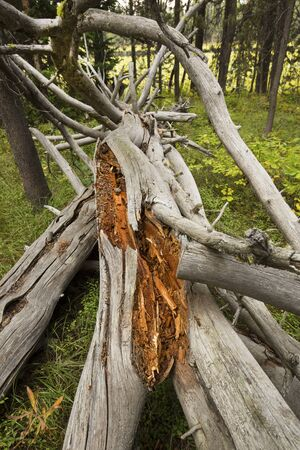 jackson: Dead, weather beaten, bleached pine tree, fallen, with red wood patches and dramatic branches, Jackson Hole, Wyoming, vertical.