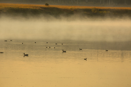 oxbow: Ducks and geese in mist and fog on the Snake River at sunrise, Grand Teton National Park, Jackson Hole, Wyoming.