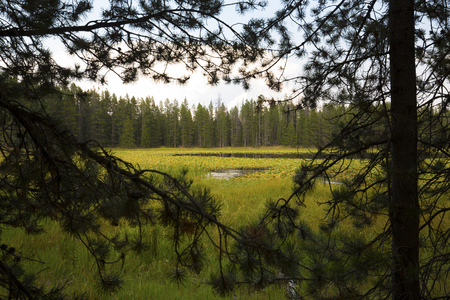 swan on the lake: Dense water lilies in Swan Lake, framed by pine branches,  Jackson Hole, Wyoming, horizontal.
