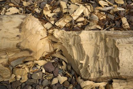 Newly chopped beaver log, with wood chips, on gravel along shore of Jackson Lake, Grand Teton National Park, Wyoming, closeup. Reklamní fotografie