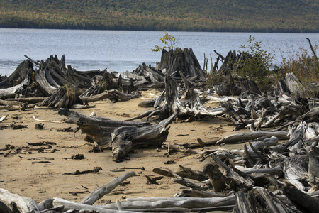 county somerset: Bleached driftwood on sandy beach of Flagstaff Lake in northwestern Maine in autumn.