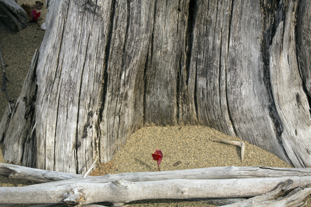 county somerset: Red fall foliage of a single maple seedling in the sand at the base of a driftwood stump on the beach at Flagstaff Lake in northwestern Maine. Stock Photo