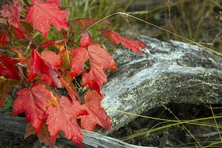 county somerset: Red leaves of a small maple tree with a driftwood log on the beach of Flagstaff Lake in northwestern Maine.
