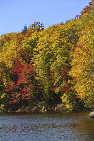 red maples: Striking fall foliage of red maples and yellow birches along shore of Russell Pond in the White Mountains near Woodstock, New Hampshire, vertical image.