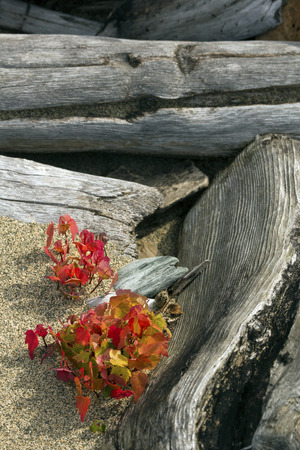 county somerset: Red fall foliage of a small cluster of maple seedlings among bleached and striped logs of curving driftwood on the beach at Flagstaff Lake in northwestern Maine. Stock Photo