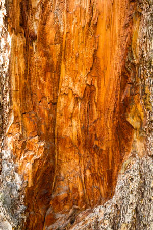 underlying: Standing dead conifer tree with deep orange patterns in the underlying wood, Yellowstone National Park, Wyoming. Stock Photo