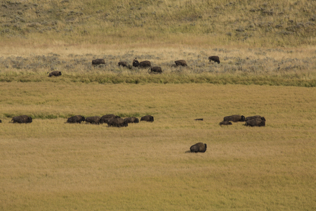 yellowing: Herd of buffalo, Bison bison, on the yellowing grassy plains of Hayden Valley in Yellowstone National Park, Wyoming, in late summer. Stock Photo