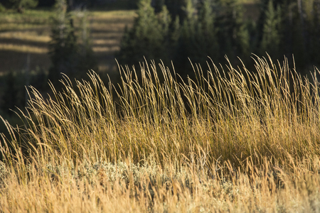 Closeup of grasses of the plains and conifer trees of Yellowstone National Park, Wyoming.