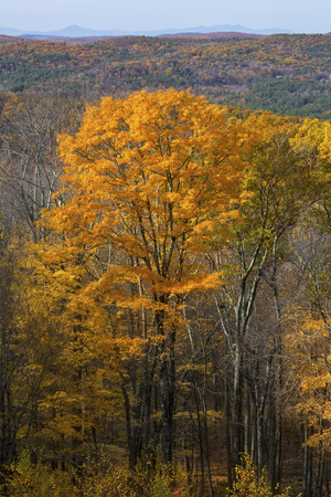 hillsides: View from Mohawk Mountain in Cornwall, Connecticut, with a single large orange tree and fall foliage on the hillsides extending to the Taconic Mountains in New York.
