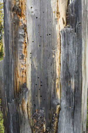 underlying: Standing dead tree with patterns in the underlying wood, Yellowstone National Park, Wyoming.