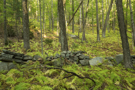 An old New England stone wall winds through an open hardwood forest of deciduous trees, with hayscented fern understory, in Vernon, Connecticut.