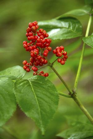 アメリカの山灰の木、山 Sunapee ニューベリー、ニューハンプシャーの真っ赤な果実。