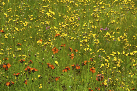 hawkweed: Orange and yellow hawkweeds and purple clover in open field on a sunny, summer day, Mt. Sunapee, New Hampshire. Stock Photo
