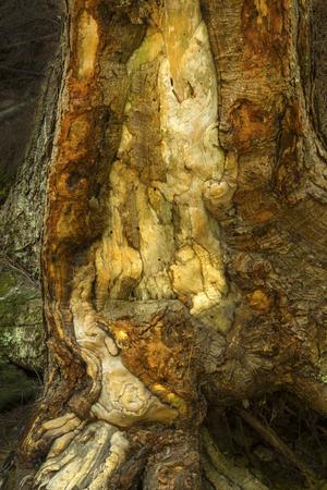 cicuta: Daño de hielo de colores sobre el tronco de un árbol de cicuta, a orillas del río Azúcar, Newport, New Hampshire, vertical.